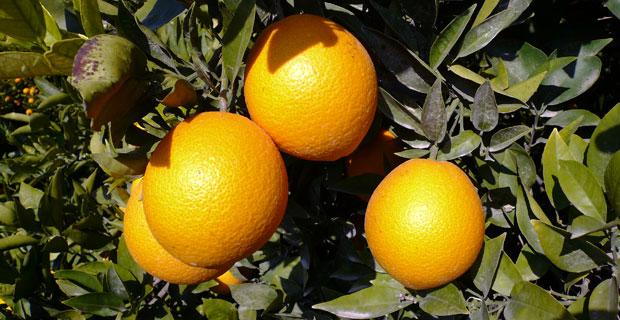 Alicante's Oranges